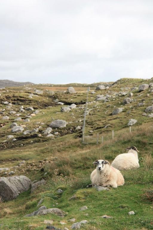 Steine und Schafe auf Harris