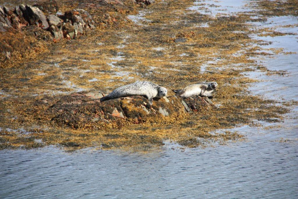 Seehunde am Rande der Golden Road auf Harris