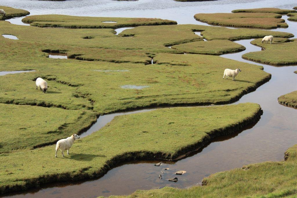 Schafe auf einem Insel-Labyrinth