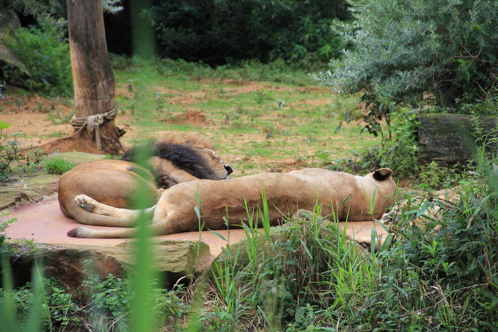 Löwen - Schöner Blog(t)