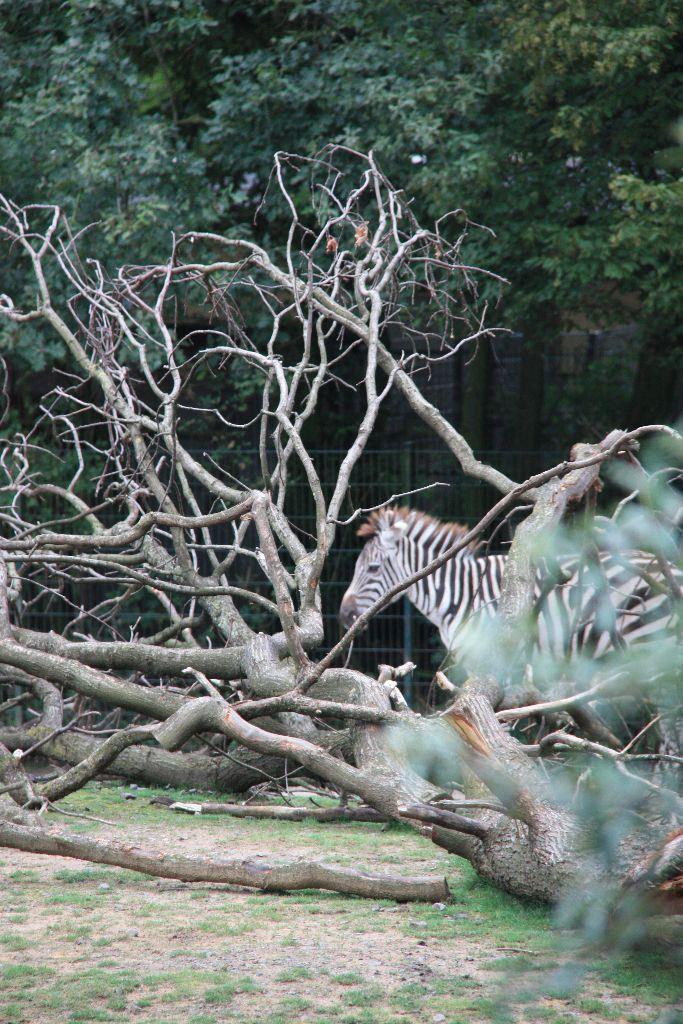 Zebra -Schöner Blog(t)