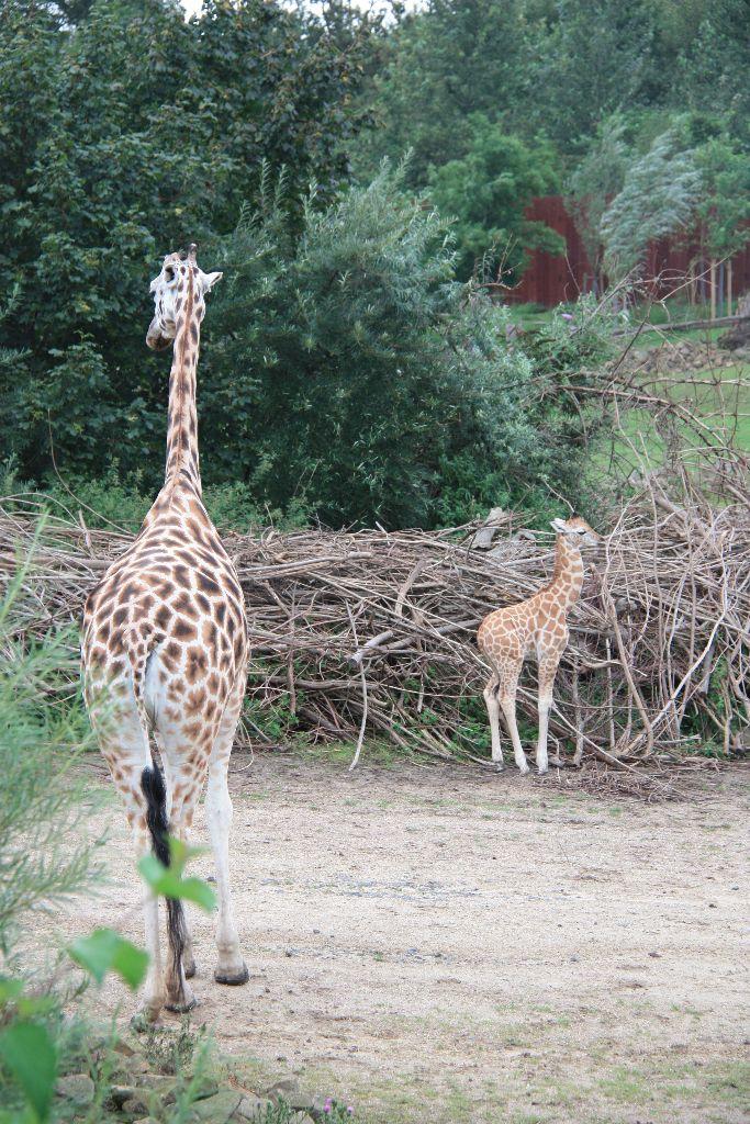 Giraffe - Schöner Blog(t)