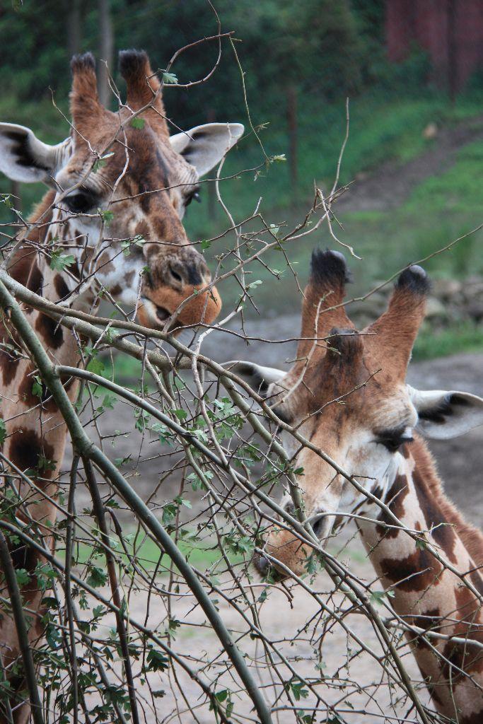 Giraffen - Schöner Blog(t)