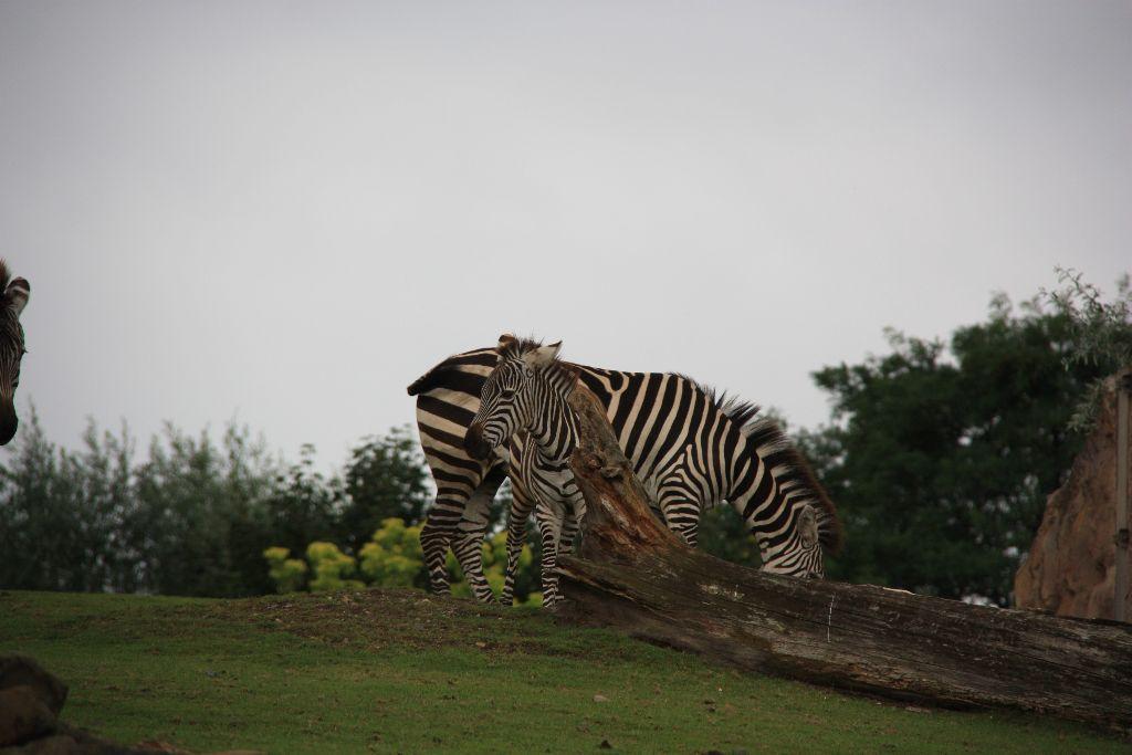 Zebra - Schöner Blog(t)