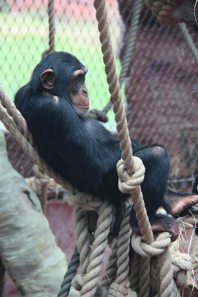 Schimpanse - Schöner Blog(t)