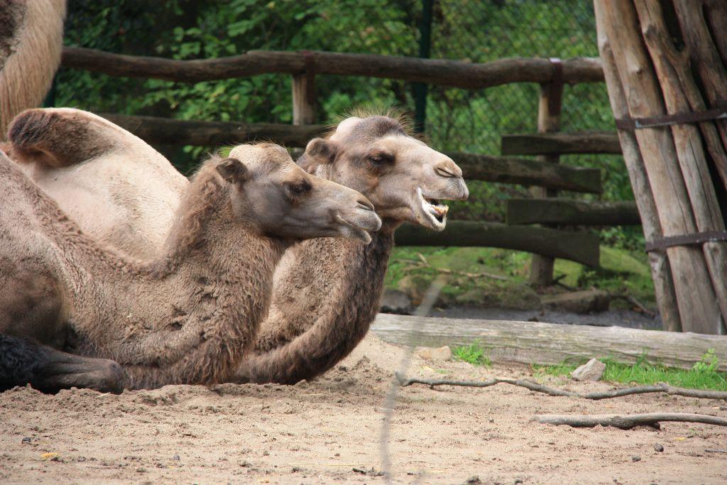 Kamele - Schöner Blog(t)