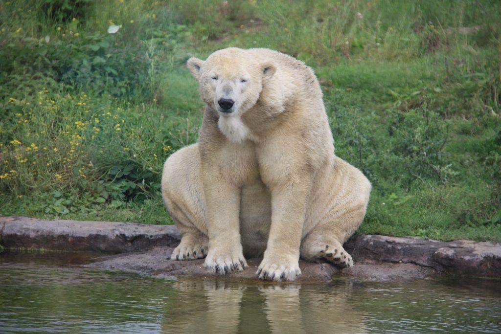 Eisbär - Schöner Blog(t)